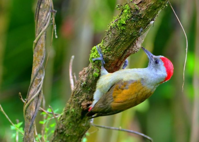 Abyssinan_Wood_peacker_birding_Ethiopia