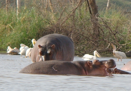 Lake-chamo-hippo-1-arba-minch-1